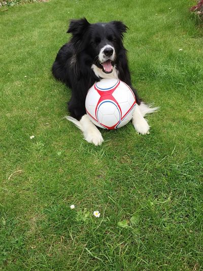 My Bordercollie Grass Pets One Animal Dog Domestic Canine Domestic Animals