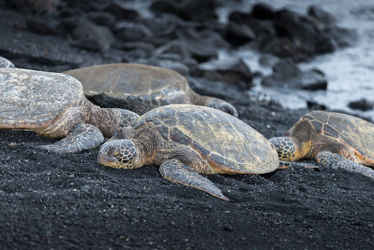 Turtles relaxing on black sand at beach