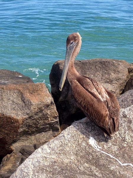 Sea Beach Nature Animals In The Wild Sea Life Water Rock - Object Sunlight Animal Wildlife Outdoors One Animal Beauty In Nature Animal Themes Pelican Older Photo