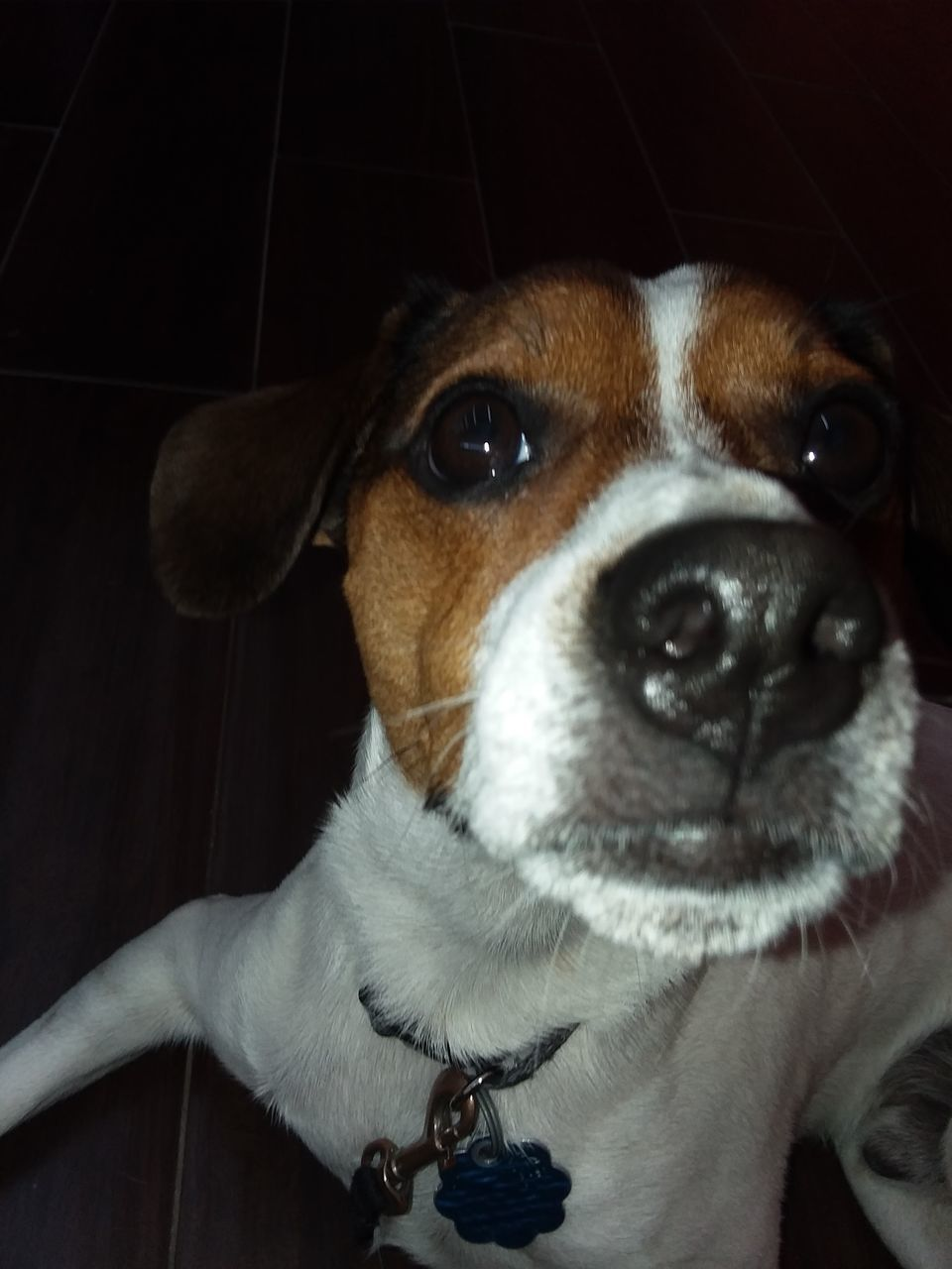 dog, pets, domestic animals, animal themes, one animal, mammal, indoors, close-up, portrait, looking at camera, no people, beagle, day