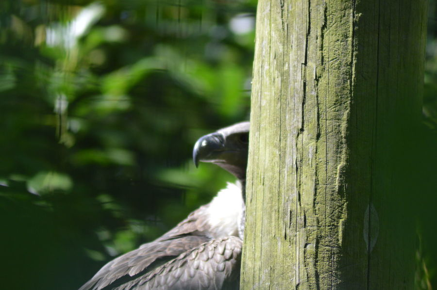 Peeking Out Animal Themes Animal Wildlife Animals In The Wild Beauty In Nature Bird Close-up Day Focus On Foreground Green Color Hiding Hiding From The World Mammal Nature No People One Animal Outdoors Peeking Perching Tree Tree Trunk Vulture Vultures Observing