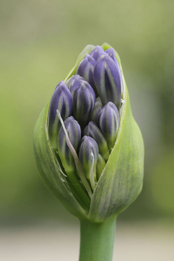 Close-up of purple flower buds