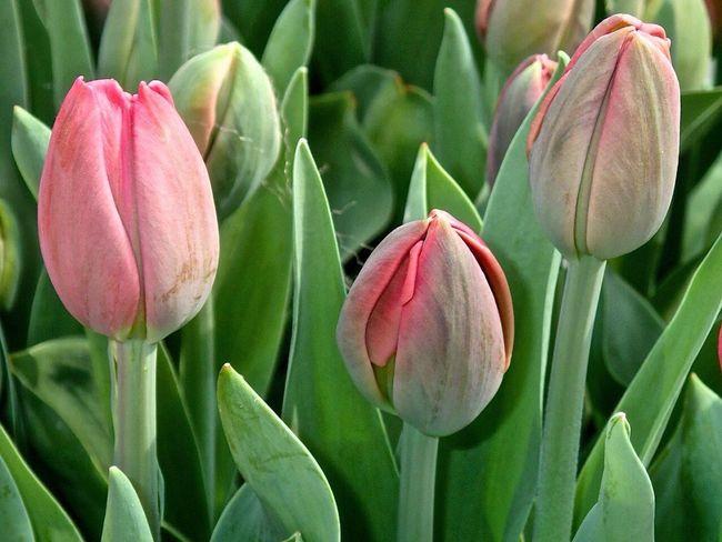 Flowers Flower Tulips🌷 Tulpen Tulipan Keukenhof Keukenhof Garden Kaukenhof Holand Holandia