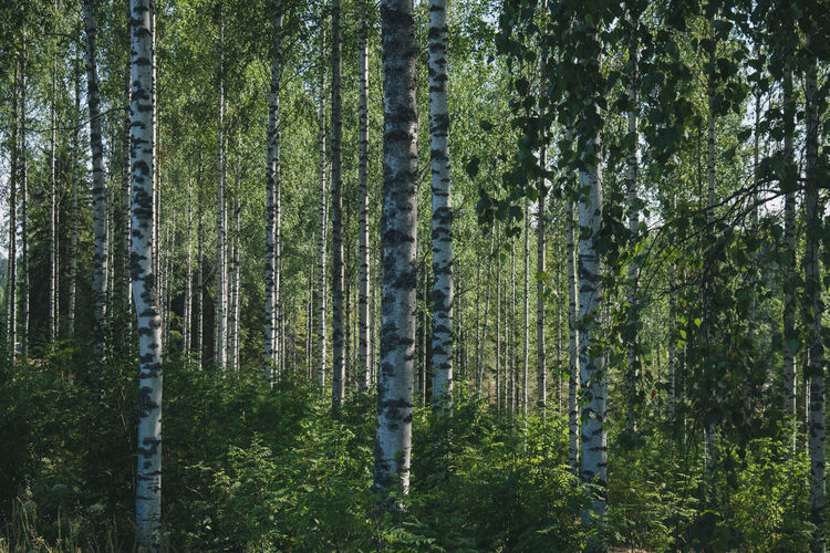 Baltic Finland Nature Nature Photography Trees Wood Birch Europe North Outdoor Road Trip
