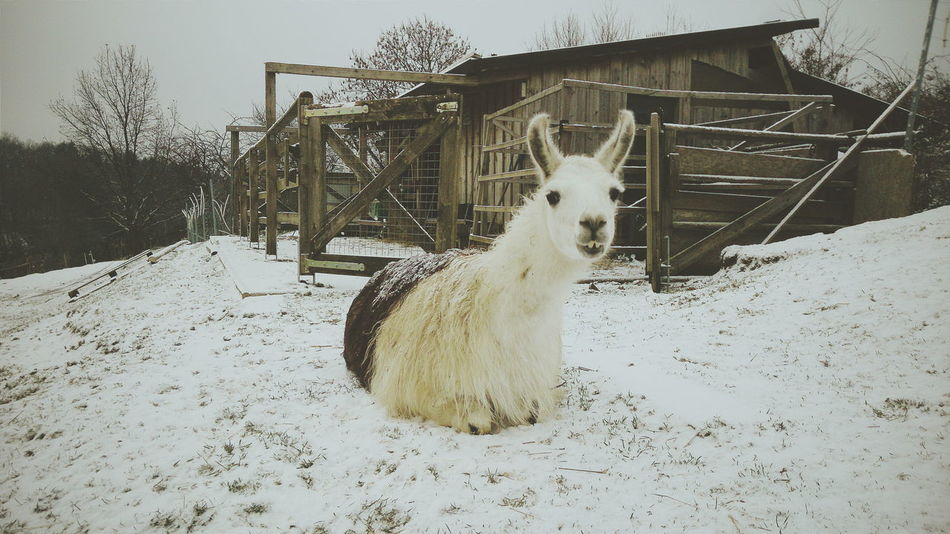 Llama Germany in winter Animal Head  Animal Themes Day Domestic Animals Llama Mammal Nature No People Outdoors Portrait Relaxation Sky