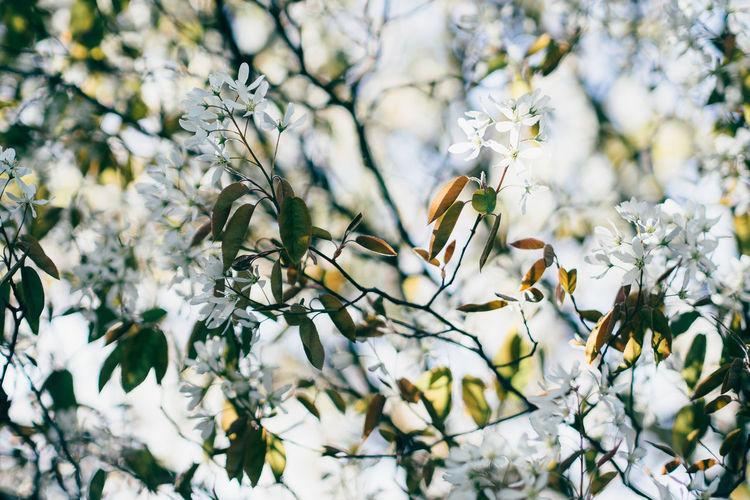 Close-Up Of White Flowers On Twig