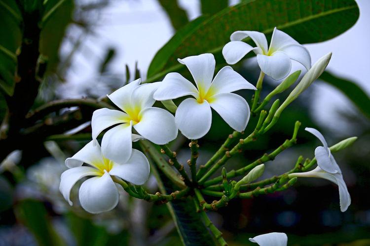 Plumeria white flower nature Nature Plumeria White Flower Nature
