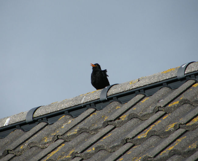Animal Themes Animal Wildlife Animals In The Wild Bird Black Bird Black Bird On Roof Blackbird Singing Day Isle Of Skye Low Angle View Nature No People One Animal Orange Beak Outdoors Perching Scotland Sky