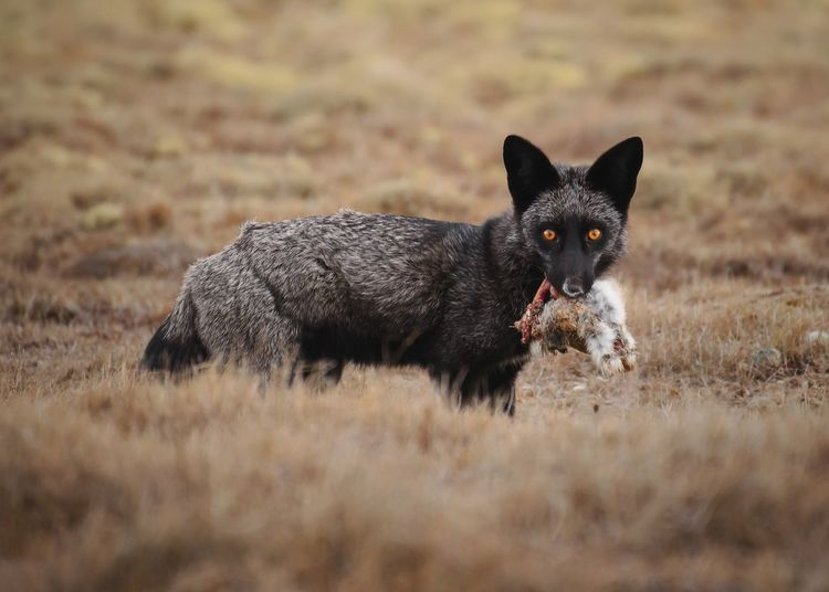 Black morph of a red fox, San Juan Islands Wildlife Photography Wildlife EyeEm Nature Lover EyeEm Best Shots EyeEmNewHere San Juan Islands Pacific Northwest  Black Fox PNW Washington Predator Red Fox Fox One Animal Mammal Animal Themes Pets Portrait Looking At Camera Nature Outdoors No People Grass Day Field