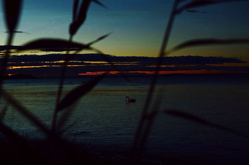 My favorite yoga teacher.. Swan Meditation Breathing Sunset Nature Scenics Silhouette Landscape Outdoors Beauty In Nature No People Animal Themes Tranquility Idyllic Tranquil Scene EyeEm Nature Lover EyeEm Gallery Tønsberg, Norway
