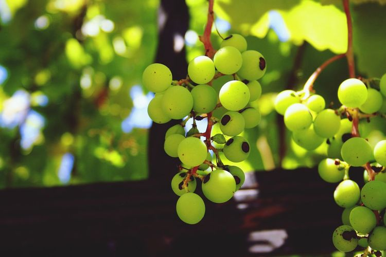 Grapes ready to be picked 💚 Plant Growth Fruit Leaf Plant Part Healthy Eating Focus On Foreground Close-up Green Color Nature Food Grape Tree