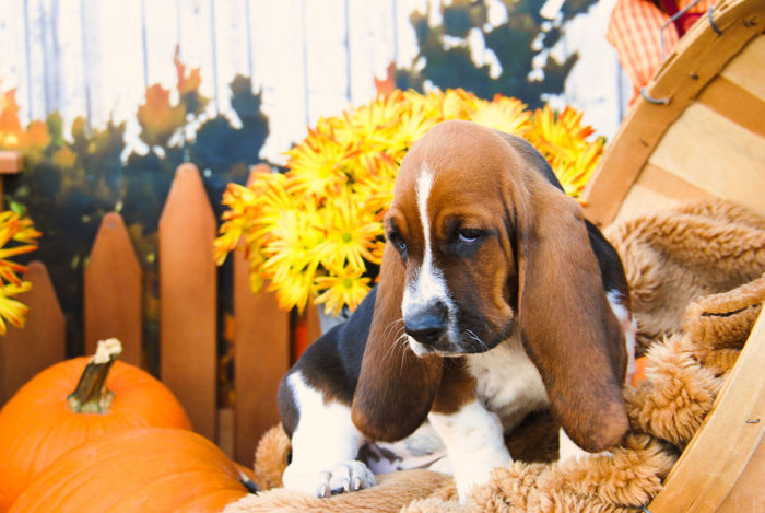Heart Of Texas Hounds -HOT HOUNDS - Big Country Bassets , Basset Hound puppies Basset Basset Hound Basset Hound Portrait Bassethound Bassetphotography Close-up Dog Domestic Animals Ears Fall Hound HoundDog HOUNDS Hushpuppy Loyalty Mammal One Animal Pampered Pets Pets Puppy Fall Colors Fall Beauty Fall_collection The Portraitist - 2017 EyeEm Awards Pet Portraits The Week On EyeEm Paint The Town Yellow EyeEm Ready