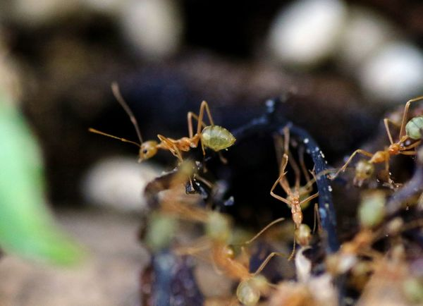 Green Ant Animal Themes Animal Wildlife Animals In The Wild Ant Close-up Day Insect Nature No People One Animal Outdoors Selective Focus