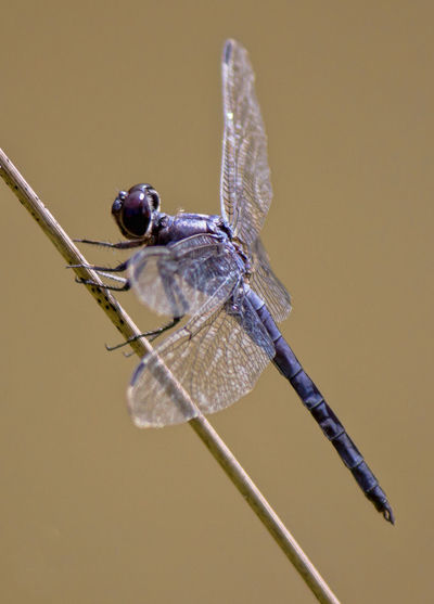 Dragon Fly on weed brown background Animal Wing Beauty In Nature Close-up Day Dragonfly Focus On Foreground Insect Nature No People Perching Plant Twig