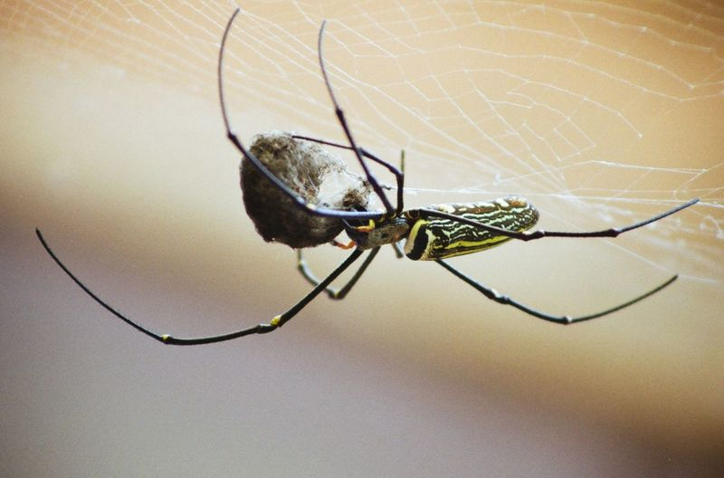 Macro shot of spider with prey in cocoon on web