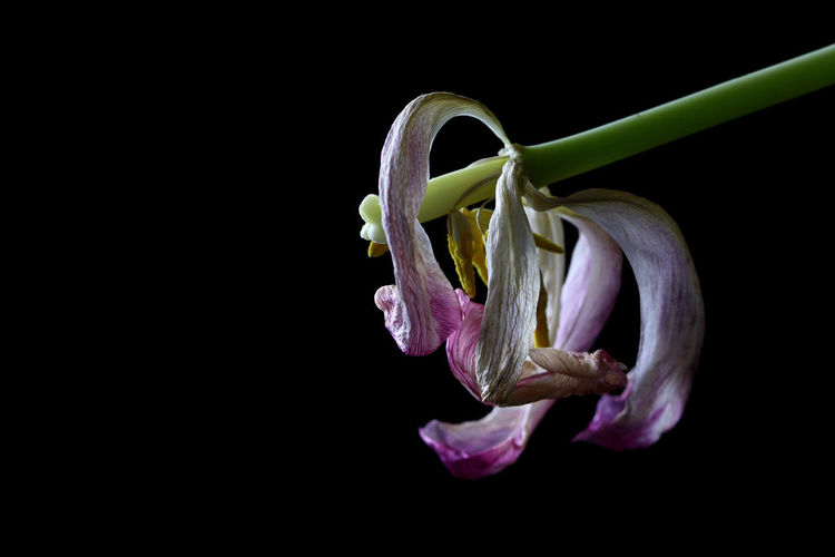 Beautiful twisted death of a tulip. Beauty In Nature Black Background Close-up Death Flower Flower Head Leviathan Photography Nature Petal Still Life Photograpy Studio Shot Tulips🌷