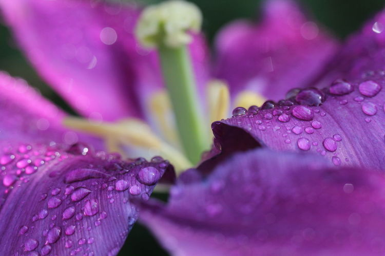 After the rain Macro Macro Photography Macro_collection No People Beauty In Nature No Filter, No Edit, Just Photography View Different Perspective Eeyem Photography Best EyeEm Shot EyeEm Nature Lover EyeEm Best Shots Nice View EyeEm Selects Nature Photography Tulpen Tulip Nature Nice EyeEm Gallery Waterdrops Pink Color Iris - Plant Purple Color Pistil