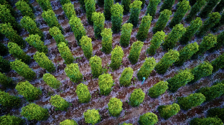 Natural Geomertry 17.62° Full Frame Growth Backgrounds Green Color Plant Nature No People Moss Environment Beauty In Nature Day Agriculture Landscape Close-up Pattern High Angle View Outdoors Tree Land Gardening Black Pepper Plantation Vietnam Aerial Photography