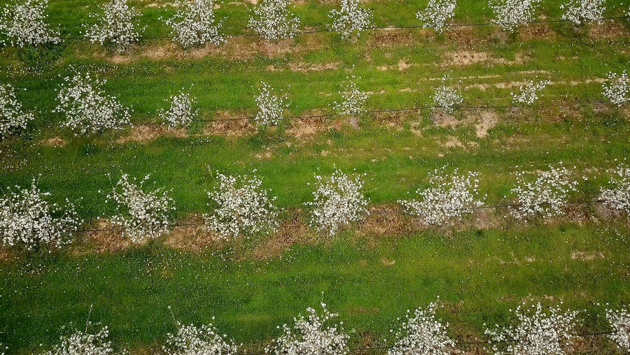 blossomin apple orchard, drone photo. resen,prespa,macedonia Apple Apple Orchard Apple Tree Beauty In Nature Blossom Day Drone Photography Dronephotography Grass Growth Macedonia Nature No People Ohrid Outdoors Prespa Macedonia Scenics Skopje Srping Tranquility Tree