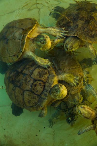 Animal Animal Theme Croweded No People Pool7 Swimming Tortoise Tortoise Shell