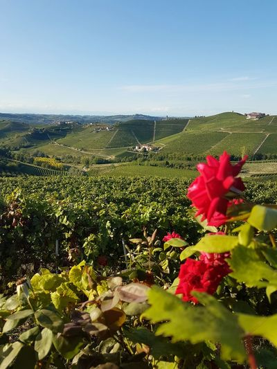 Langhe Freshness Piedmont Italy Travel Destinations Nature Vineyards  Red Roses Green And Red Summer Scenic View Hills And Valleys Green Hills Outdoors Day Travel