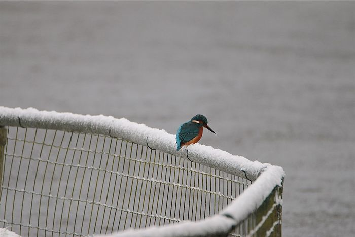 Bird One Animal Animal Themes Animals In The Wild Animal Wildlife Nature Outdoors Perching No People Day Kingfisher Frozen Cold