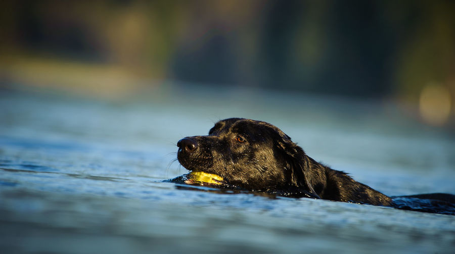 Close-up of dog carrying ball while swimming in lake