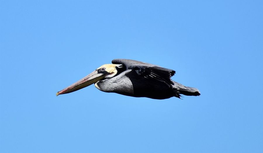 Just Flying By Animal Themes Animal Wildlife Animals In The Wild Beak Beautiful Bird Bird Blue Clear Sky Day Flying Flying Bird Inflight Low Angle View Nature Nature Photography Nature_collection No People One Animal Outdoors Pelican Sky Spread Wings Wildlife Wildlife & Nature Wildlife Photography