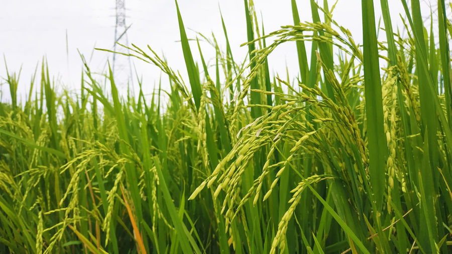 When the Harvest Arrives Growth Green Color Plant Agriculture Cereal Plant Crop  Field Land Farm Landscape Sky Plantation Outdoors Nature Wheat Blade Of Grass