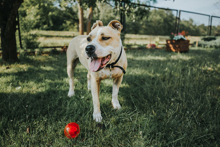 Dog With Red Ball Playing On Grassy Field