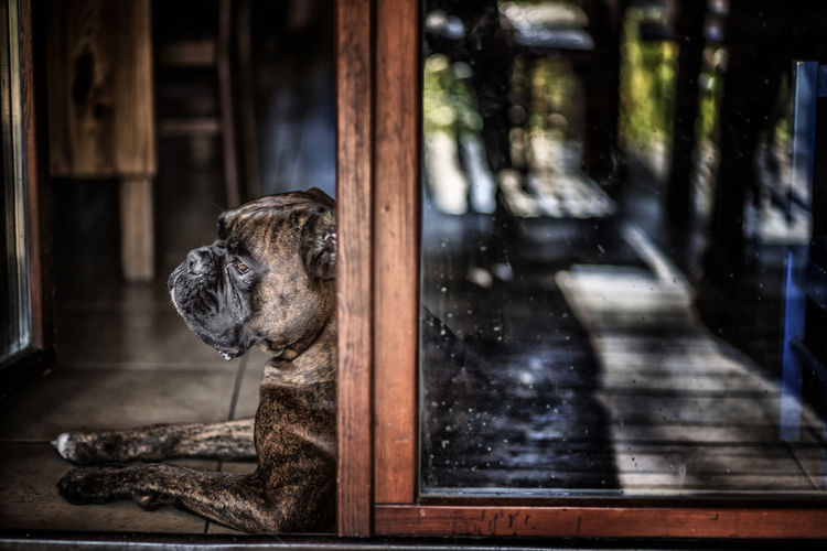 One Animal Animal Themes Animal Mammal Domestic Animals Domestic Dog Canine Pets No People Window Vertebrate Indoors  Day Wood - Material Looking Focus On Foreground Reflection Transparent Animal Body Part Animal Head  Small