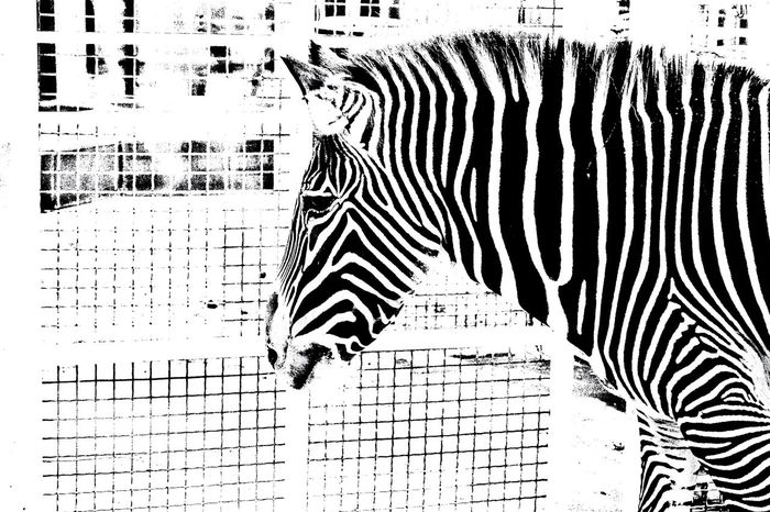Zebra Striped Animal Themes Zebra One Animal Day No People Outdoors Animal Wildlife Animal Markings Mammal Close-up Blackandwhite Zebra Zoo Black And White Black & White Blackandwhite Photography Monochrome Monochrome Photography Lines And Shapes Lines