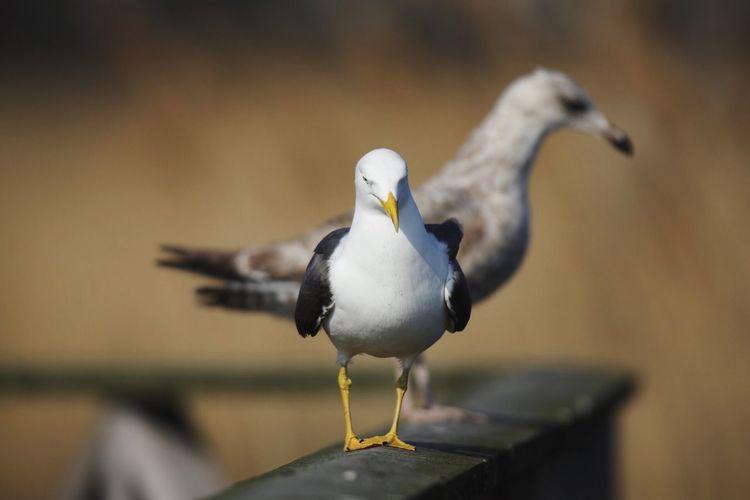 Seagulls Bird Vertebrate Animal Themes Animal Animals In The Wild Animal Wildlife One Animal Seagull Perching Outdoors