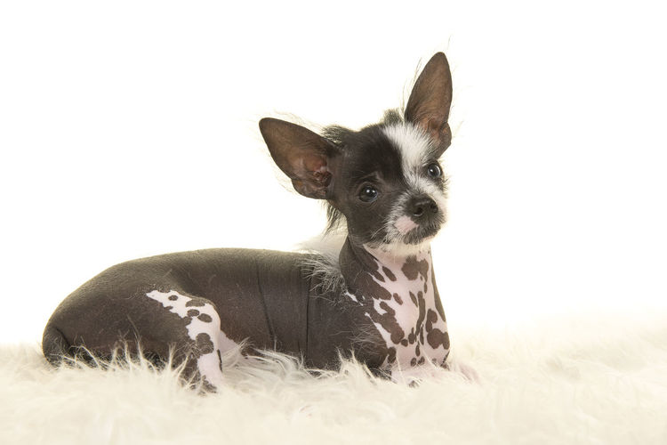Cute chinese crested puppy dog lying down on a white fur on a white background Chinese Crested Puppy Animal Themes Chinese Crested Chinese Crested Dog Cute Dog Domestic Animals One Animal Pets Puppy White Background
