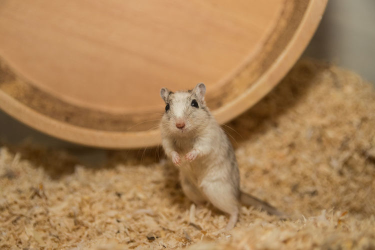 Close-up of mouse by wooden exercise wheel on sawdust