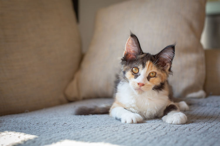 Animal Eye Cat Domestic Domestic Animals Domestic Cat Feline Furniture Indoors  Looking At Camera Mainecoon Mammal No People One Animal Pets Portrait Relaxation Sofa Vertebrate Whisker