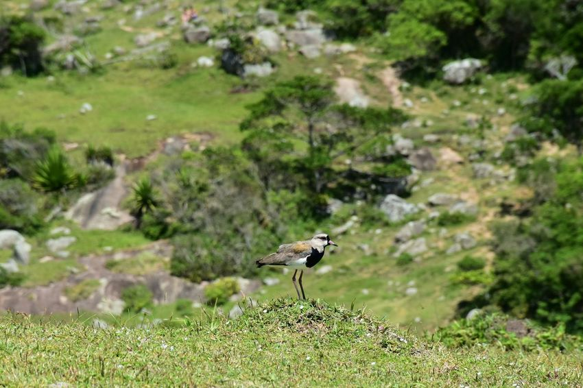 Hiking Bird Rural Scene Quero-quero Vanellus Chilensis One Animal Animals In The Wild Animal Wildlife Animal Themes Nature Insect Focus On Foreground Day Outdoors Grass No People Beauty In Nature