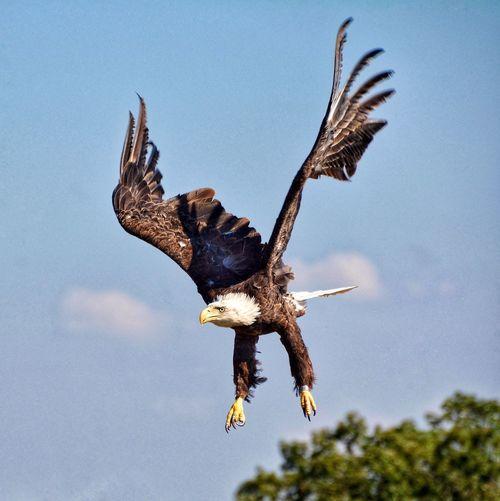 Bald eagle flying against sky