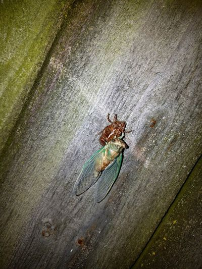 Cicada emerging 2 Cicada Cicada's Shell Cicada Emerging Entemology Insect Bug Life Bug Cedar Rapids Iowa Canman Show Studio MidWest