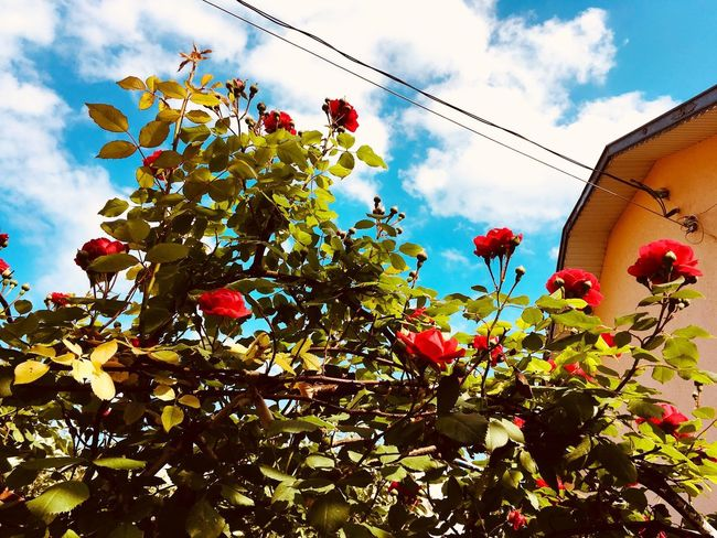 Roses Sky Low Angle View Plant Cloud - Sky Tree Nature Growth No People Flower Freshness Day Flowering Plant Outdoors Decoration Branch Beauty In Nature Red Leaf Plant Part