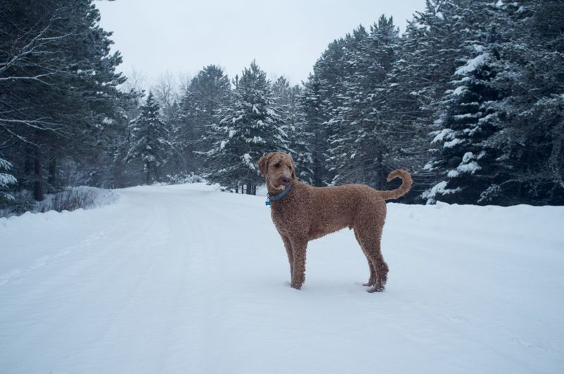 Goldendoodle standing on snowy field amidst trees against sky