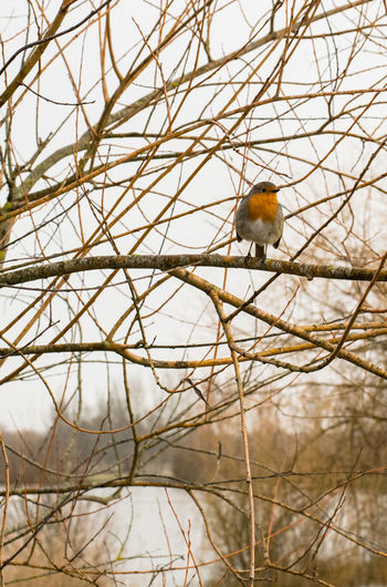 Bird Photography Cloudy Sky Nature Animal Themes Animals In The Wild Bird Branch Close-up Day Nature No People One Animal Outdoors Rouge Gorge Tree