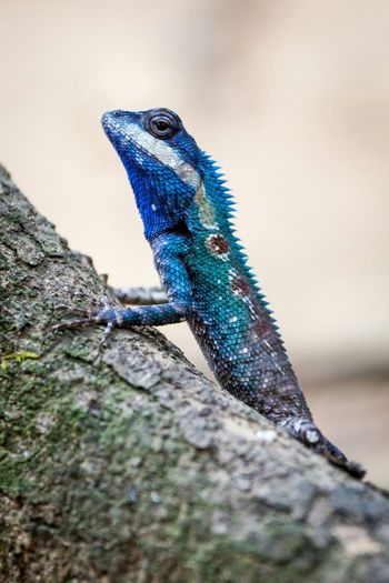 This awesome little changeable lizard transformed from brown to green and blue right before my eyes Reptile Animals In The Wild Close-up Outdoors Day No People Animal Themes Nature Animal Wildlife Blue One Animal