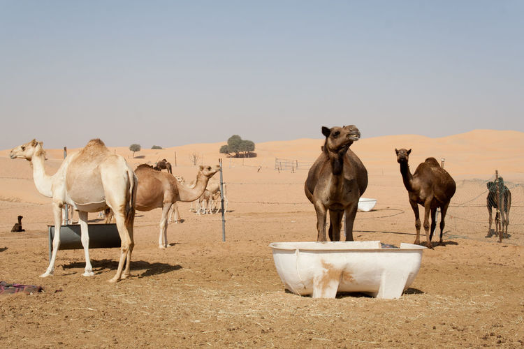 Abu Dhabi's desert farm Day Desert Beauty Dromedario Dromedary Farm Life Farmland No-people Outdoors Sky