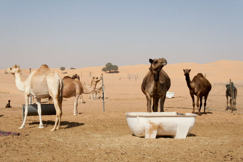 Abu Dhabi's desert farm Day Desert Beauty Dromedario Dromedary Farm Life Farmland No-people Outdoors Sky