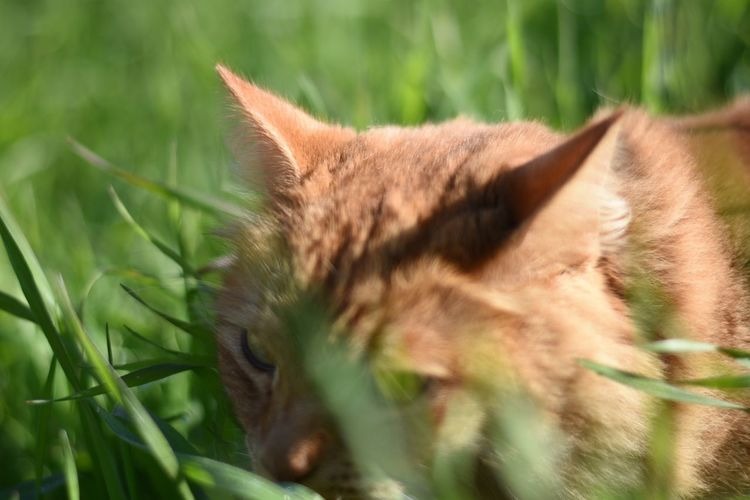 Domestic Cat One Animal Close-up No People Grass Outdoors Pets Nature Mammal Day Nature Beauty In Nature Tranquility Animal Wildlife Animal Cat Catlover Onthehunt Stalking Prey Kitty Cat Kitty Orange Cat Kitty!  Animals In The Wild Domestic Animals