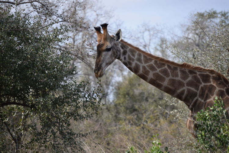 Eating giraffe Animal Wildlife Animals In The Wild Nature Giraffe Mammal EueEmNewHere animal Safari Animals Outdoors