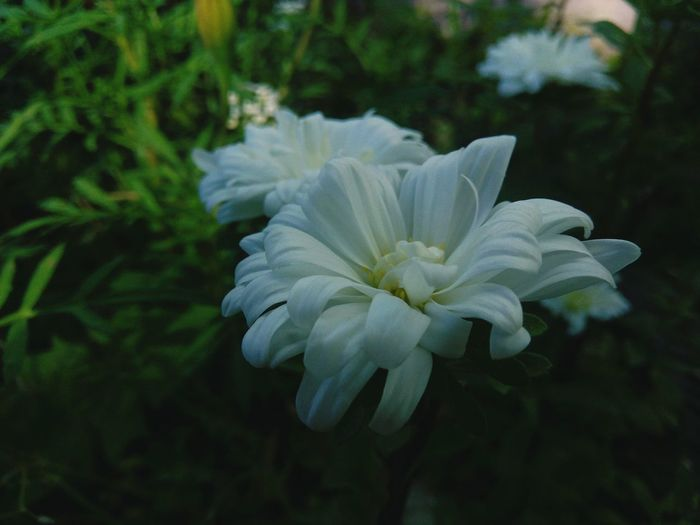 Flower Close-up White Color Plant Focus On Foreground Flower Head Petal Nature No People Day Fragility Beauty In Nature Growth Outdoors Freshness
