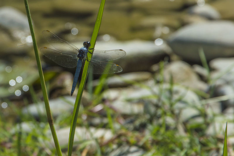 Close up of a blue dragonfly insect, near the river Animals In The Wild Invertebrate Insect Animal Wildlife Animal Themes One Animal Animal Plant Close-up Selective Focus Nature Day Green Color No People Damselfly Growth Focus On Foreground Grass Outdoors Animal Wing Blade Of Grass