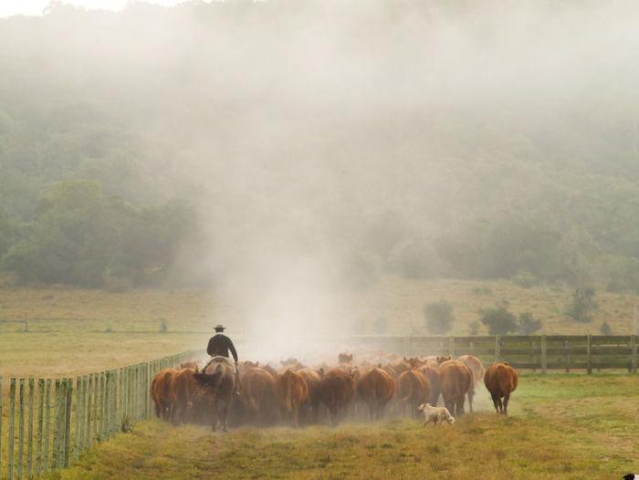 Cattle herd on field